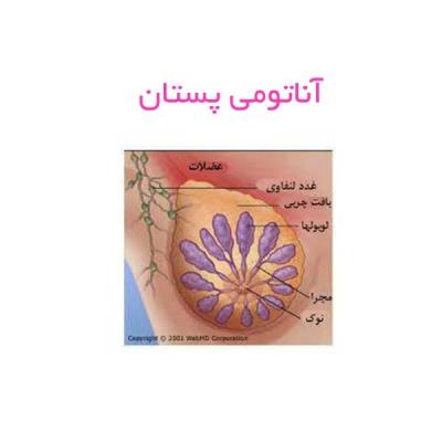 آناتومی پستان